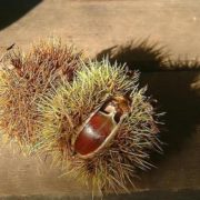 Awesome chestnuts