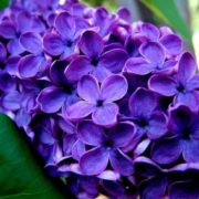 Awesome lilac