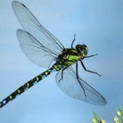 Charming dragonfly