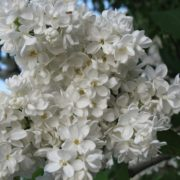 Charming lilac