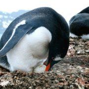 Charming penguins