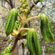 Chestnut branch