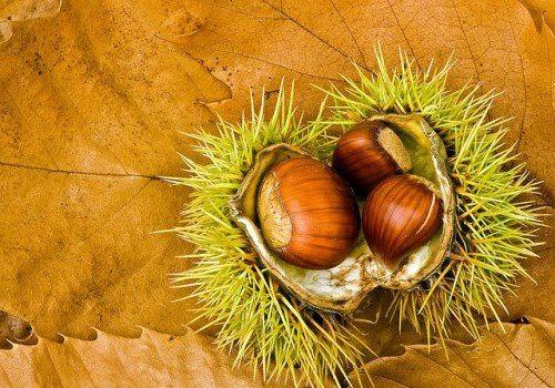 Chestnut - sweet-tasting nut
