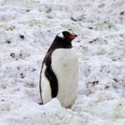 Cute penguin