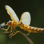 Dragonfly is eating a fly