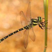 Golden-ringed dragonfly, Cordulegaster boltonii