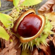 Gorgeous chestnuts