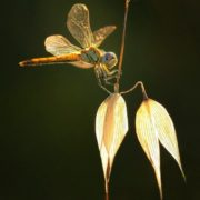 Gorgeous dragonfly by Igokur