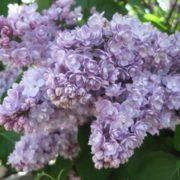 Graceful lilac