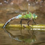 How do dragonflies lay their eggs