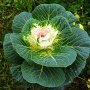 Interesting cabbage