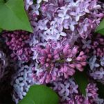 Lilac – awesome flowers
