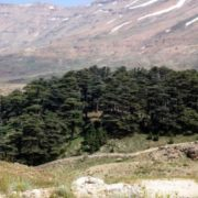 Magnificent cedars