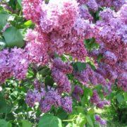 Magnificent lilac