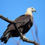 Pallas's fish eagle