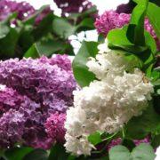 Pretty lilac