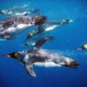 Swimming penguins