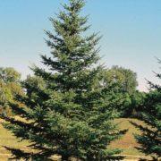 Amazing conifer