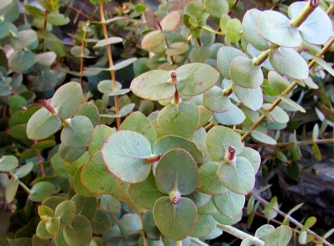 Ash Eucalyptus - decoration for flower beds and parks