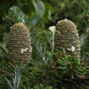 Attractive conifer