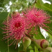 Attractive eucalyptus