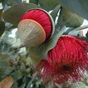 Awesome eucalyptus