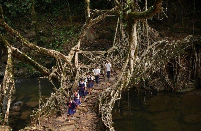 Bridge of tree roots, India