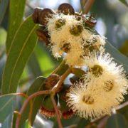 Charming eucalyptus