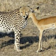 Cheetah and antelope