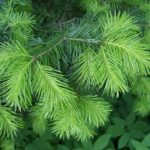 Conifer – evergreen tree