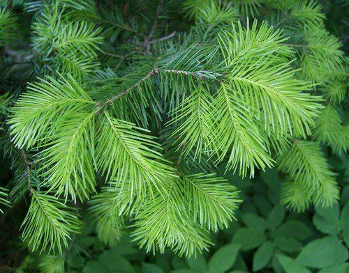 Conifer – evergreen tree
