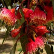 Cute eucalyptus