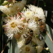 Evergreen eucalyptus is a wonderful honey plant