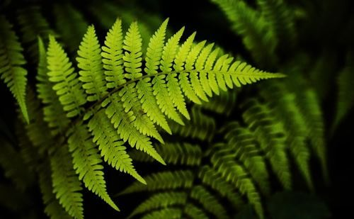 Fern – mysterious plant