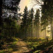 Graceful conifer