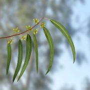 Graceful eucalyptus