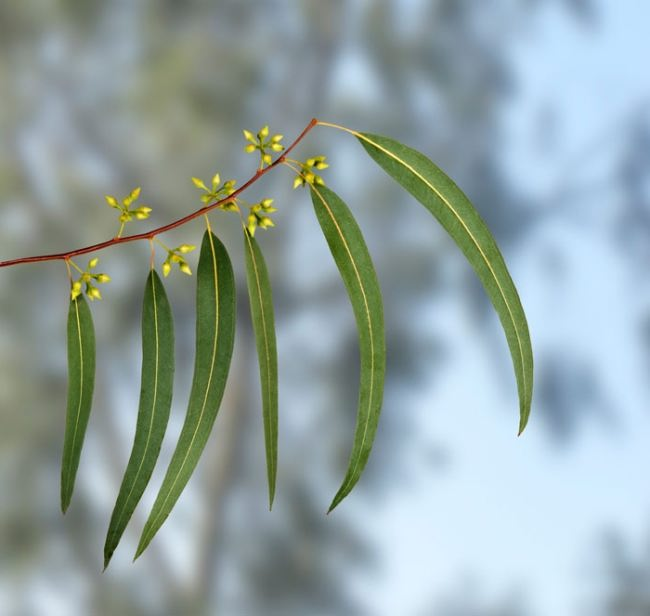 Graceful eucalyptus