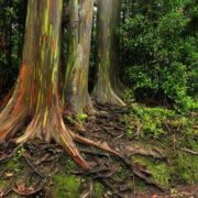 Great eucalyptus