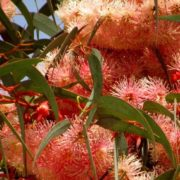 Interesting eucalyptus