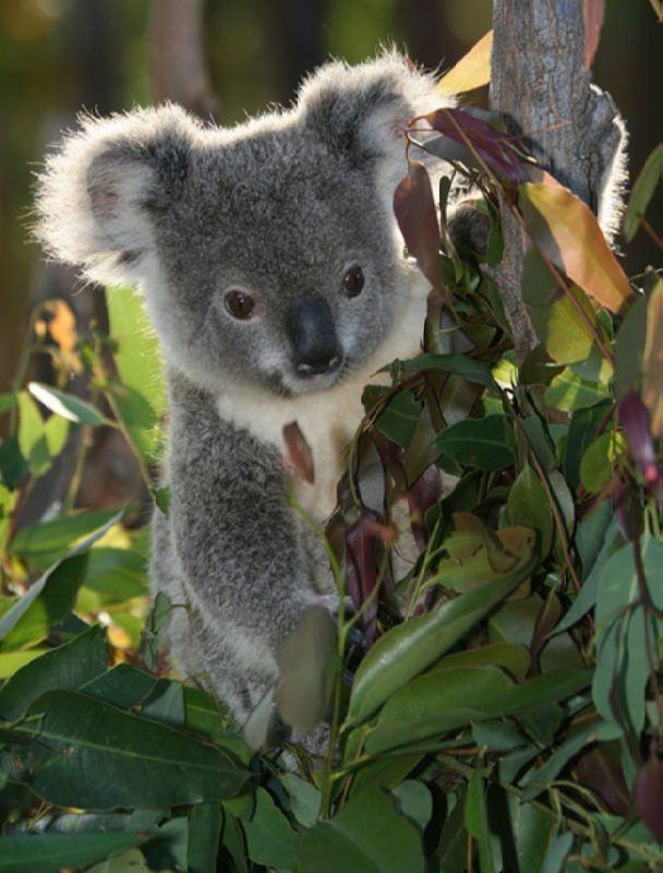 Koalas eat only eucalyptus leaves
