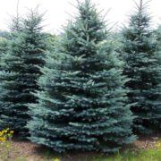 Magnificent conifer