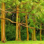 Magnificent eucalyptus