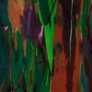 Majestic Eucalyptus deglupta