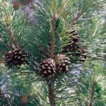 Pine – Long-Lived Tree