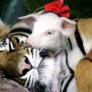 Tiger and little pig