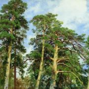 Tops of pines, Shishkin Ivan Ivanovich