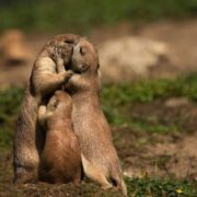 Touching hugs in the family of gophers