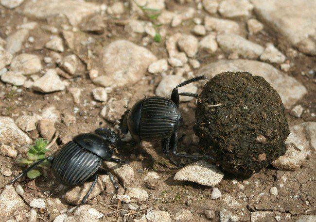 Cute scarab beetles