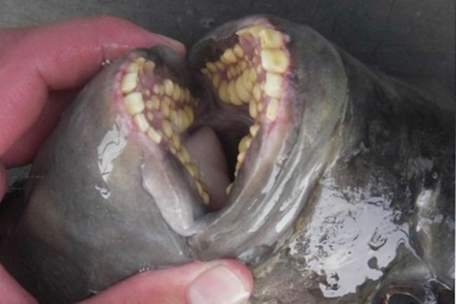Pacu has many teeth