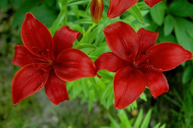 Red lilies